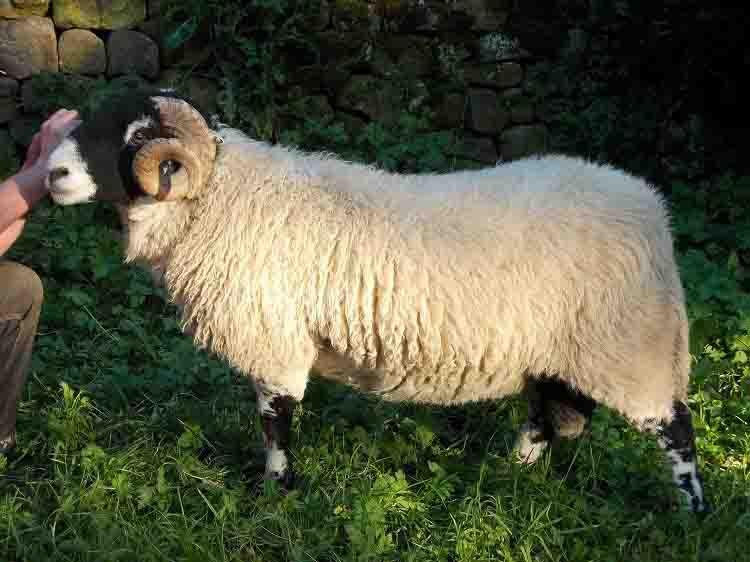 Sandwick Sheep
